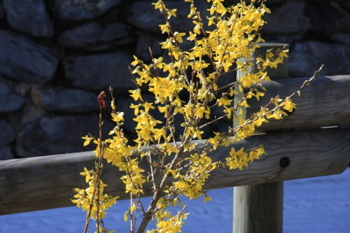Our Forsythia came into bloom two days ago - ski piste behind